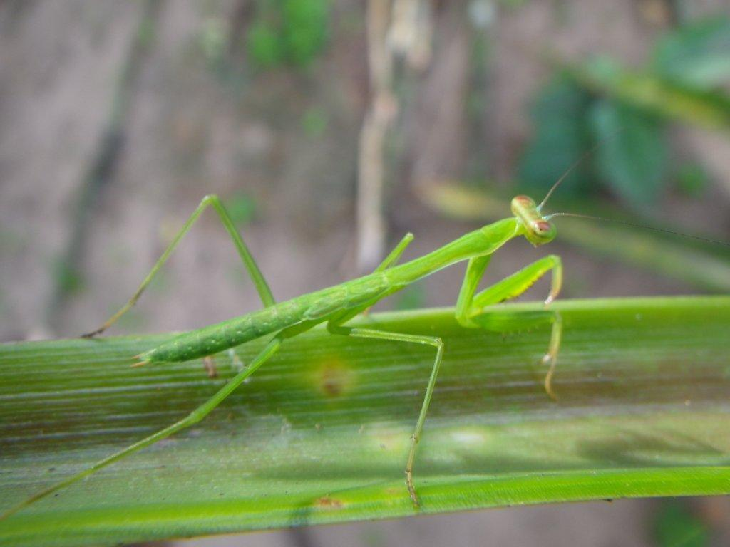 an analysis of the topic of the mantodea praying mantis Posts about mantis publications written by rick and gavin project mantodea: systematics and evolution menu a renaissance of praying mantis research by both molecular and morphological.